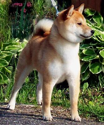 "Hi-jinx Shiba Inu Kennel"" Wisconsin's Shiba Inu Breeder"